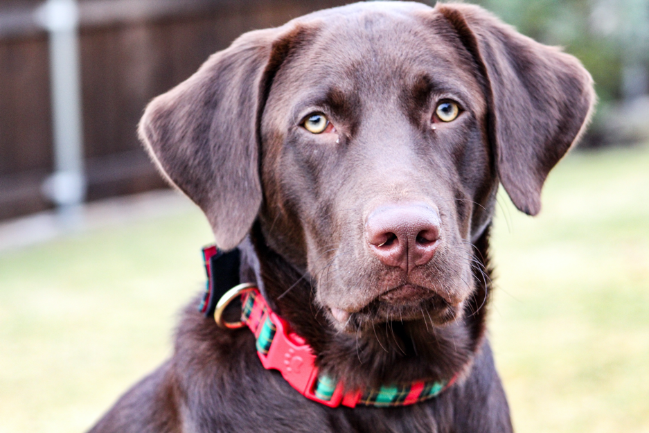 A chocolate labrador with a red and green collar