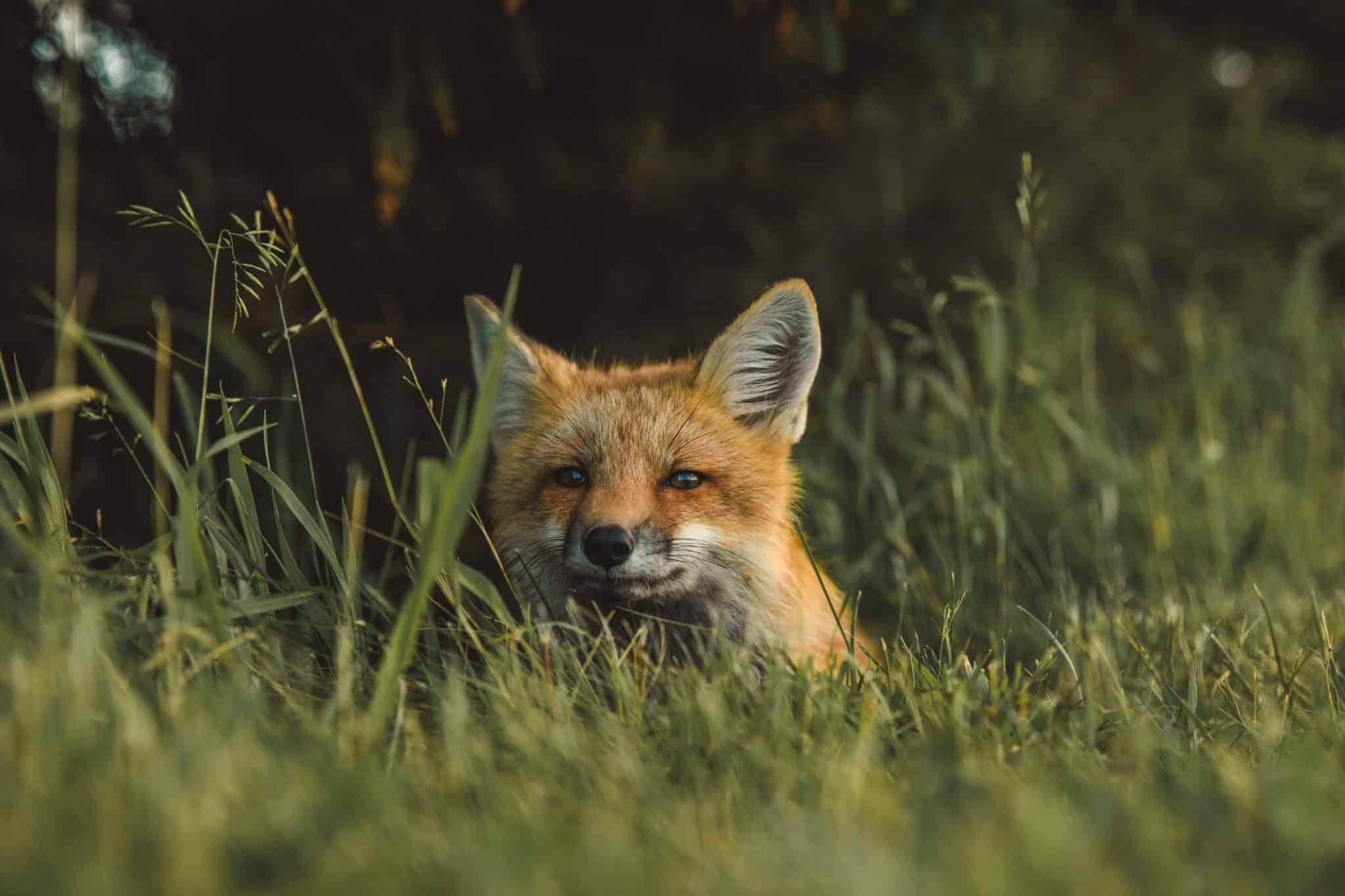 A medium shot of a red fox hiding behind tall, overgrown grass.